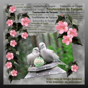 Deux tourterelles s'aiment d'amour tendre dans Animaux Tourterelle-%C3%A0-table1-300x300