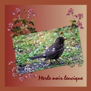 Merle noir, merle blanc, merle leucique... dans En bref merle-noir-leucique-jpeg-300x300