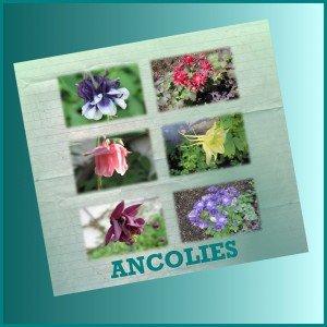 Ancolies