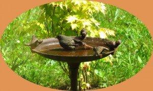Rouge-queue au bain dans Animaux 3-300x180