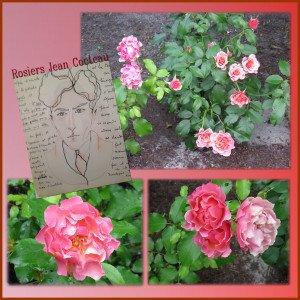 Roses Jean Cocteau